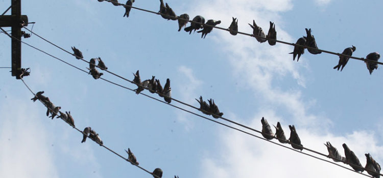 Ministério Público decide apurar controle de pombos em Santos